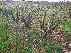 vignes_en_hiver