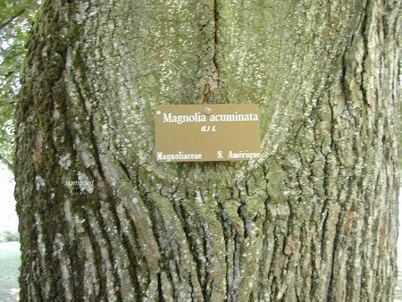 Magnolia_acuminata