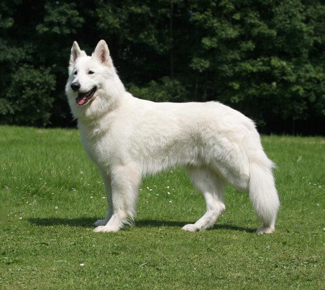 berger-blanc