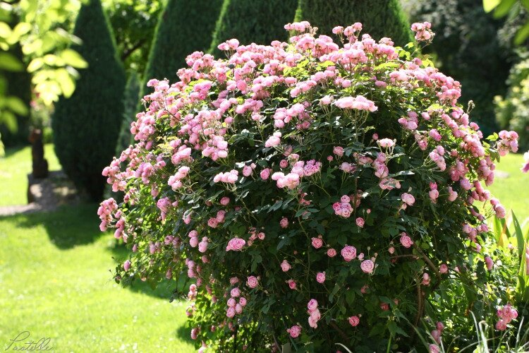 Buisson roses_12 01 06_9930