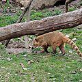 23 - Coati roux