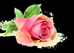 vrai_rose