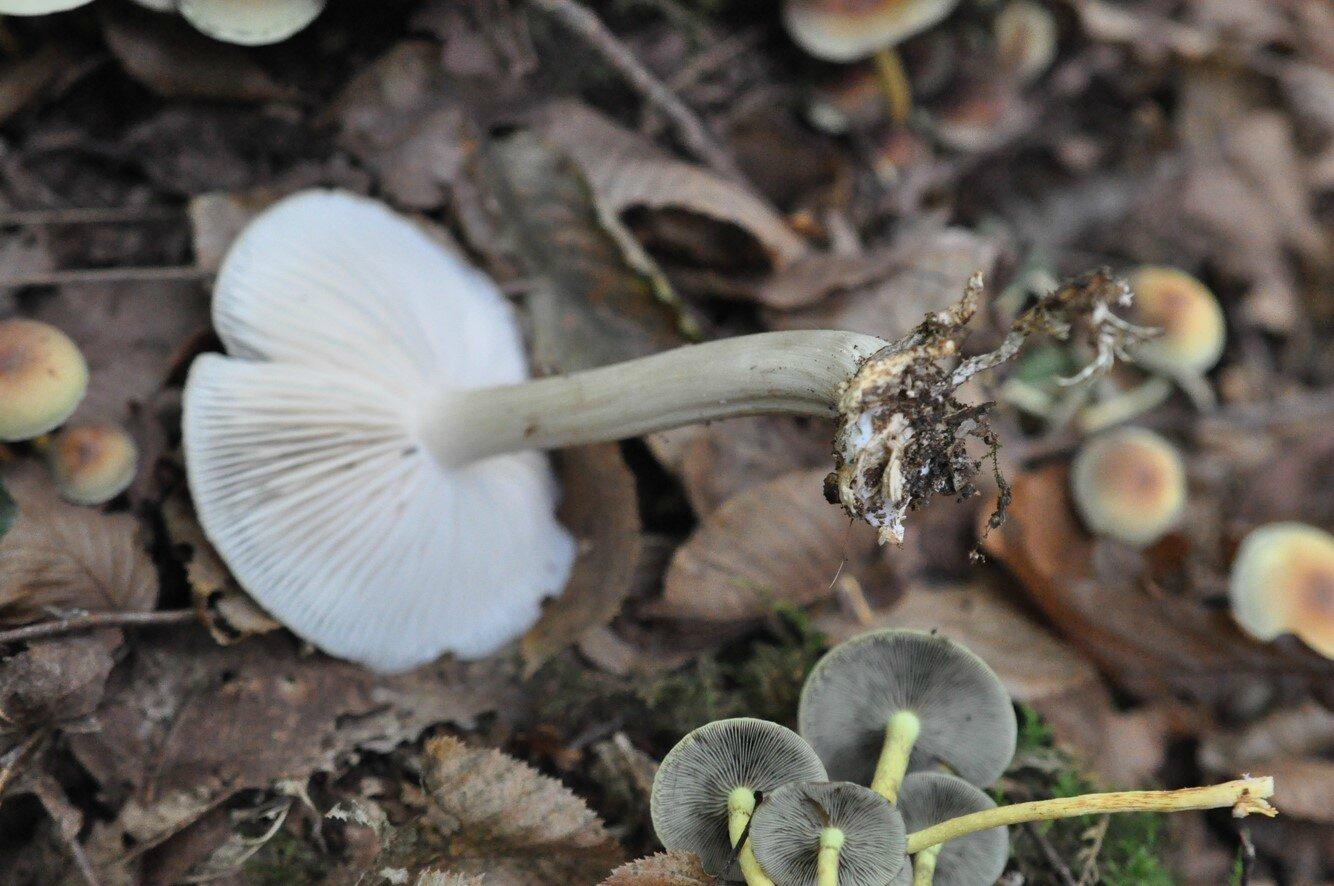 Megacollybia platyphylla (2)