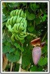 r_gime_de_bananes