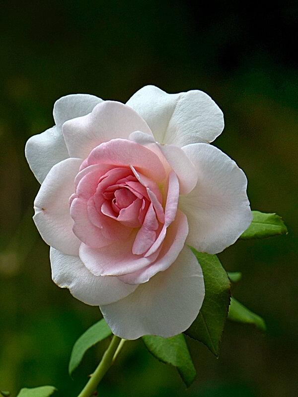Rose Sandrine 24-07-18