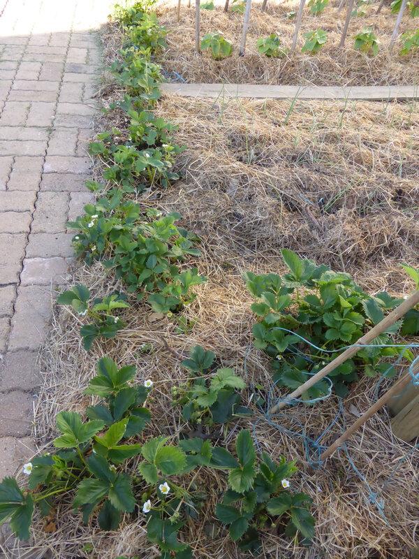 11-fraisiers (2)