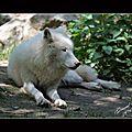 loups blanc6