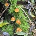 Galerina marginata (1)