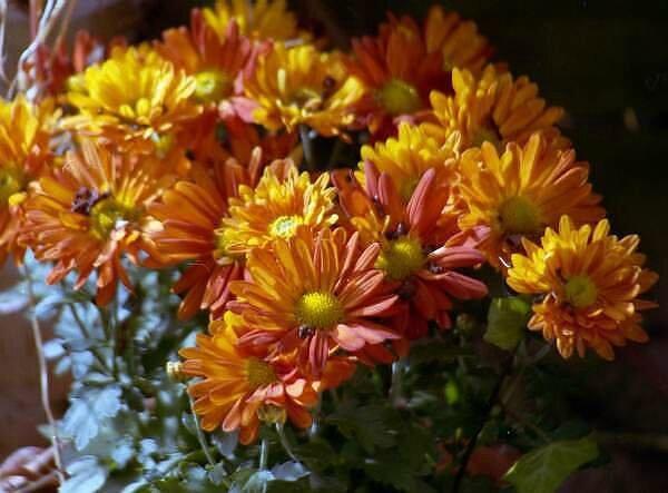 Chrysantheme vkl