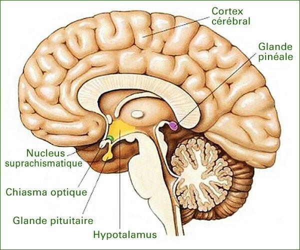 SP201_cerveau