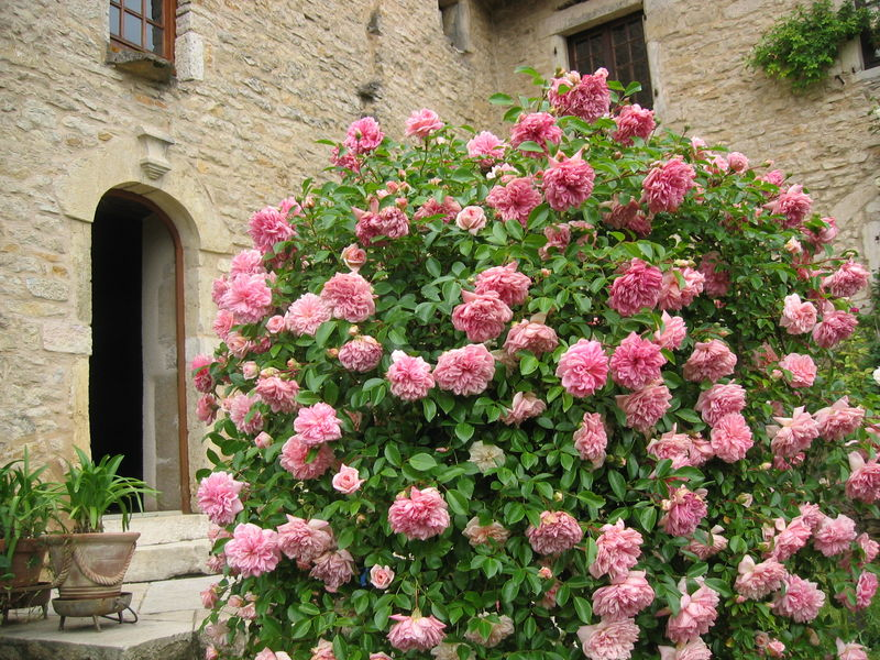 Rose ancienne : 'Paul Transon'