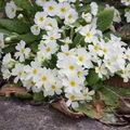 2009 04 08 Primevère blanche au coeur jaune