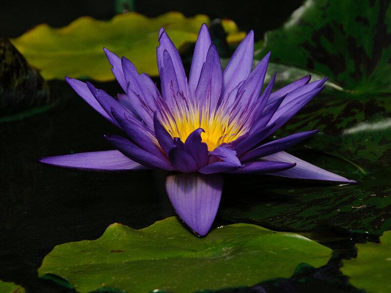 Lotus géant 23-08-16