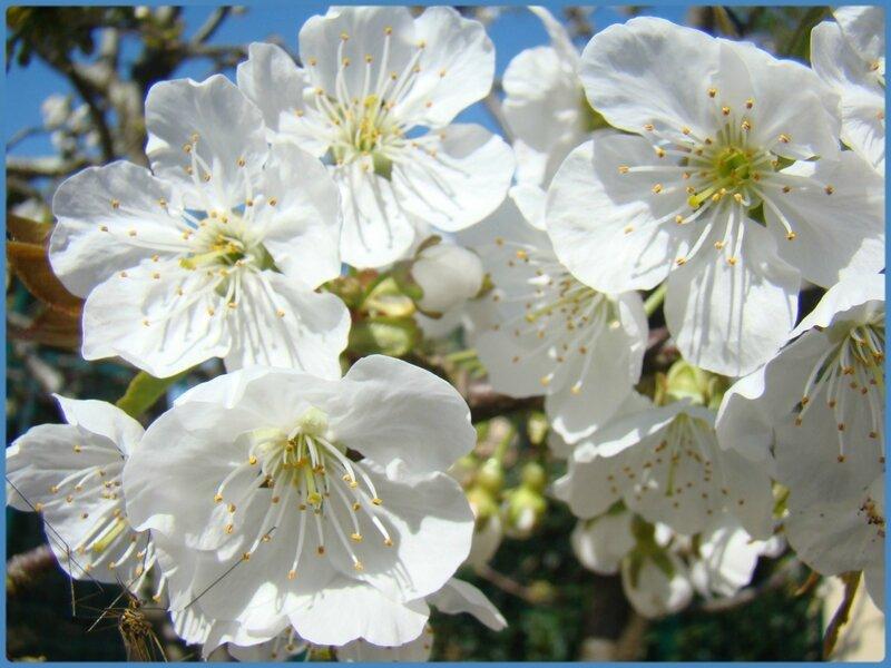 cerisier1