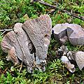 Gomphus clavatus (3)