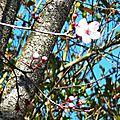 Prunus 260216