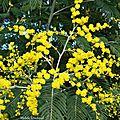 Mimosa 2101163