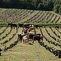 vaches in vignes