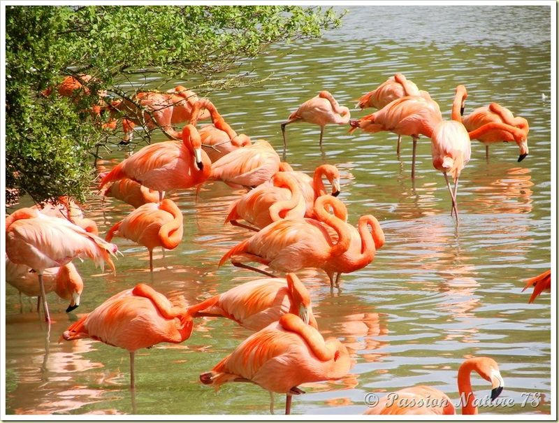 Les flamants roses (3)