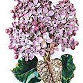Lilac concordance