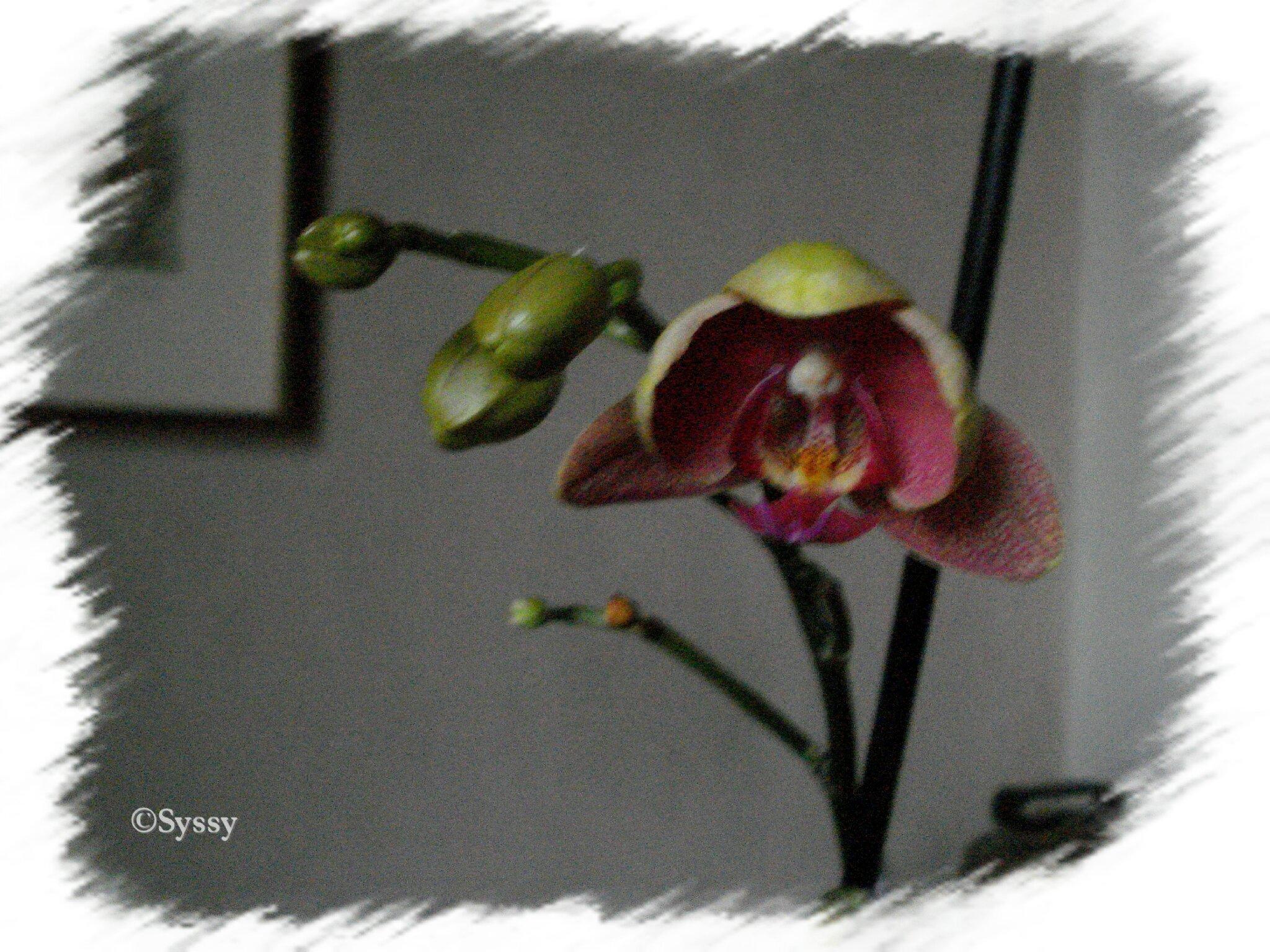 Une nouvelle fleur d'orchidée .. ♥ Joyeux anniblog chez Couleur Chabby ♥