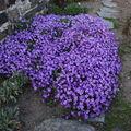 2009 05 06 Mon couvre sol d'aubriètes en pleine fleuraisons