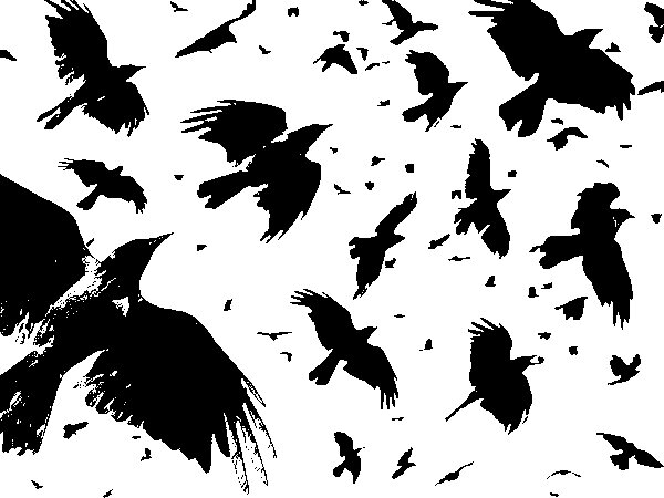 crows fly