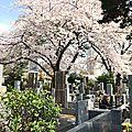 ... observer les premiers cerisiers en fleurs (5ème partie) !