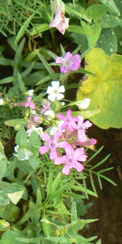 fleurs juillet 2010 050