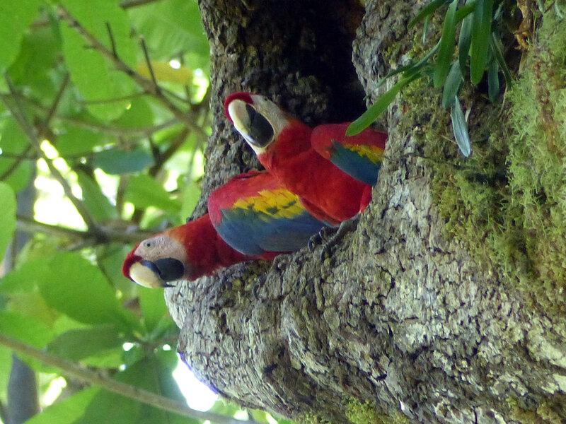 ara macaw juvfb