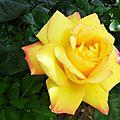 Rose 21051611