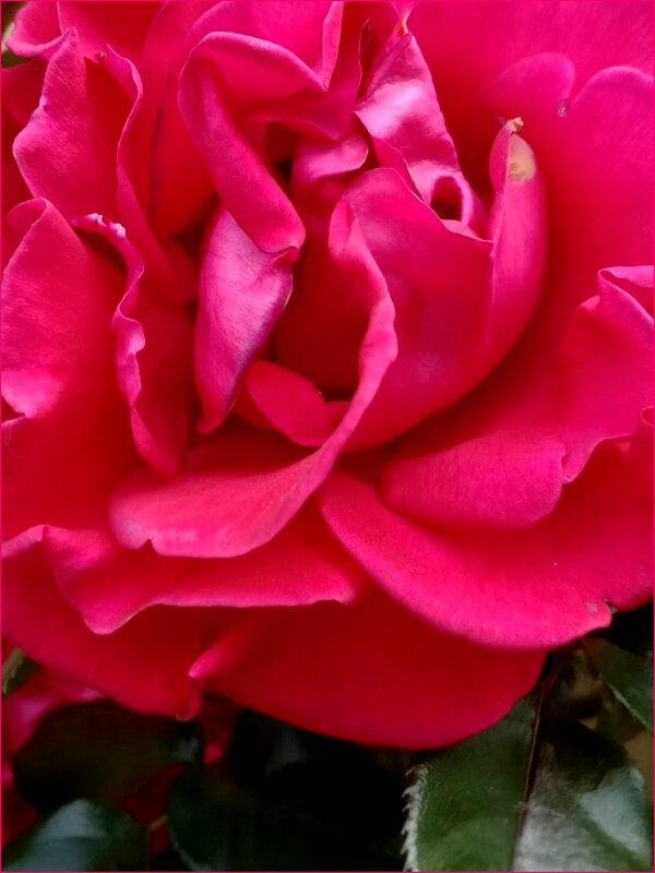 rosejardin