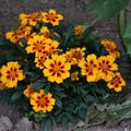 2009 07 21 Fleurs d'oeillets d'Indes