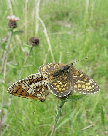 couple_de_papillons