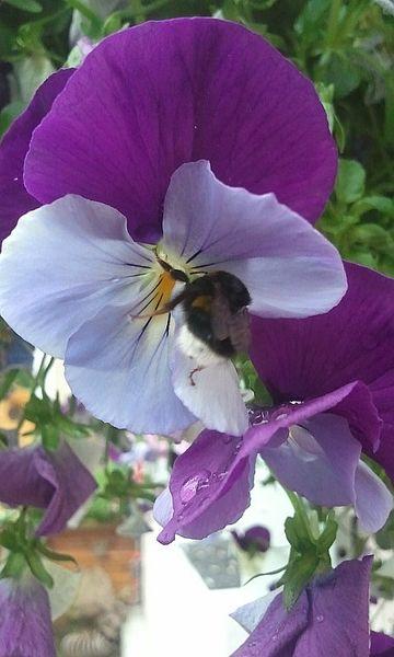 p'tit cul d'abeille