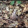Petite grenouille de terre