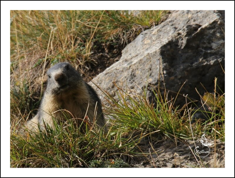 Famille marmotte 10