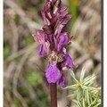 Orchis de Spitzell