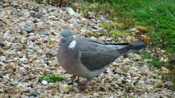 pigeons avril 2012 004