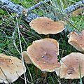 Collybia dryophila (9)