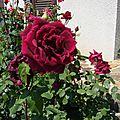 Rose 120714 juin 2013