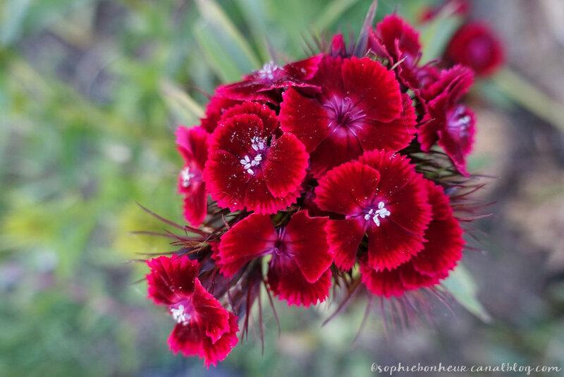 mi mai fleurs rouges