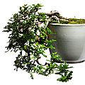 A zanthoxylum beecheyanum bonsai, circa 1964