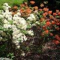 Association de couleurs de rhododendron