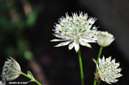 Astrantia major Shaggy