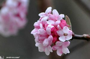 Daphne odora • Bois-joli