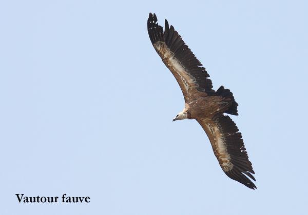 V_fauve