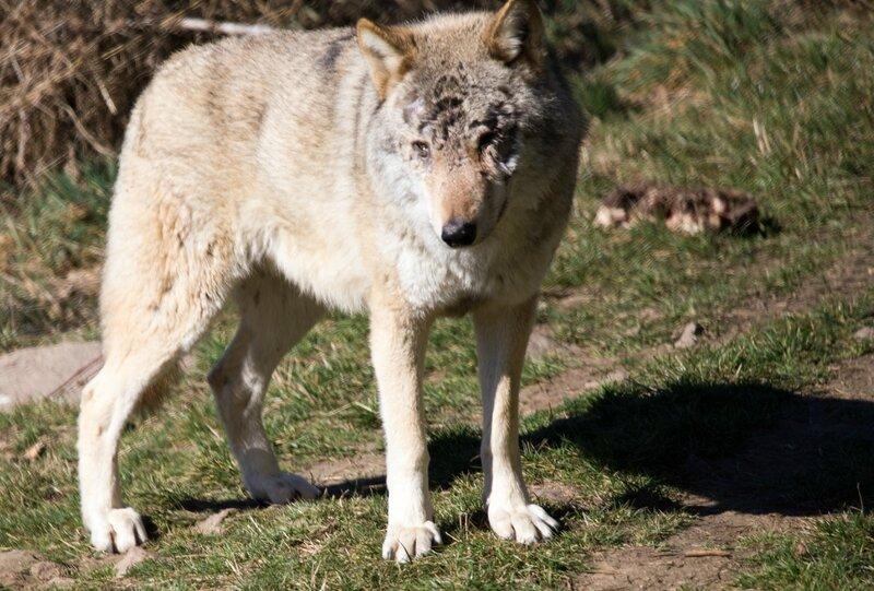 Loups-19