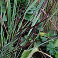 Panicum virgatum 'farbende auslese'