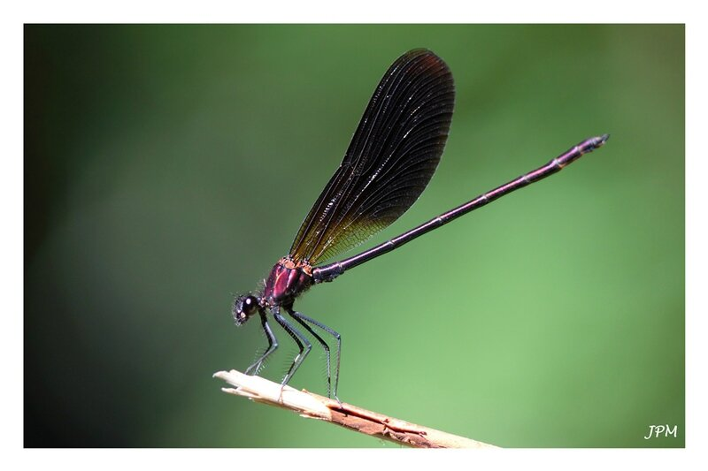 Calopteryx_haemorrhoidalis_280716_3_GF